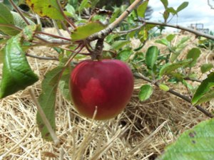 The first apples