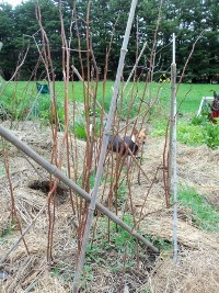 Pruned Raspberries already for summer fruiting